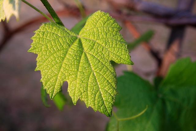 vine-leaf-657693_640