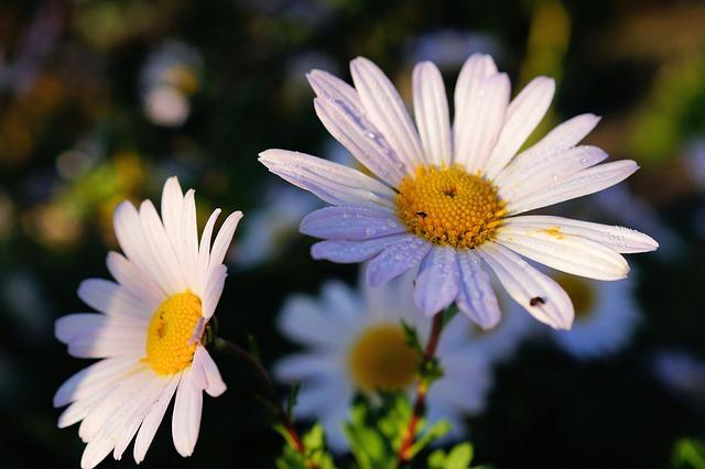 daisies-476770_640