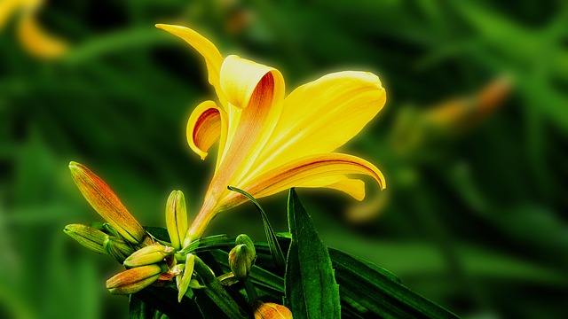 lily-265092_640