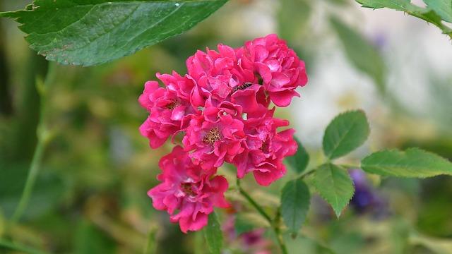 rose-812738_640