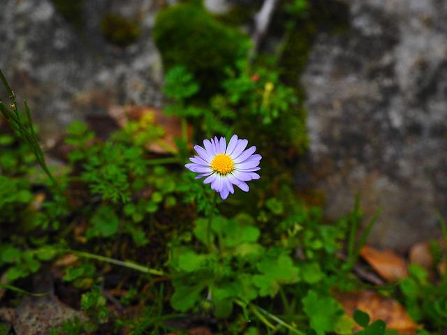 annual-daisy-1090335_640