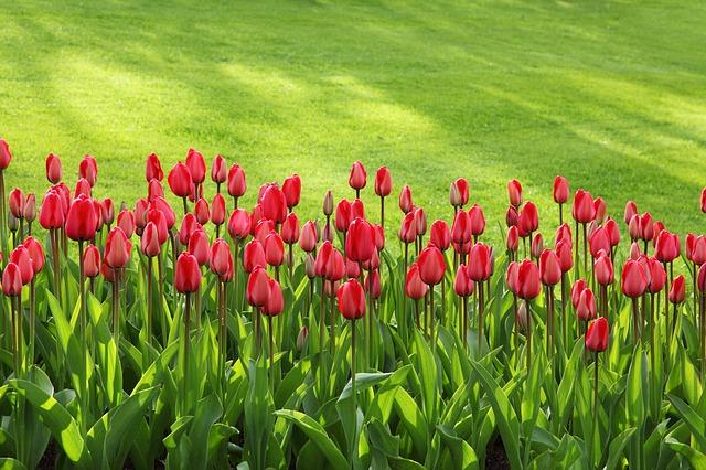 tulips-21620_640